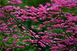 SHINDESHOJO JAPANESE MAPLE - ACER PALMATUM 'SHINDESHOJO' - 3 - YEAR TREE