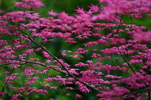 SHINDESHOJO JAPANESE MAPLE - ACER PALMATUM 'SHINDESHOJO' - 3 - YEAR TREE (Best Growing Conditions For Japanese Maple)