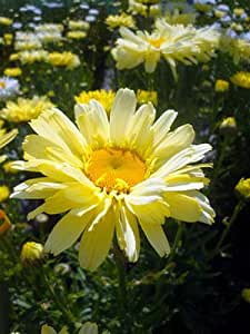 Real Dream Shasta Daisy - Leucanthemum - Quart Pot - Summer Blooming