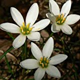 Zephyranthes Candida 'White Rain Lily' - 25 Flower Bulbs