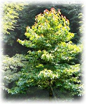 15 Seeds Happy Tree, Camptotheca, Cancer Tree, Tree Of Life (Camptotheca acuminata)