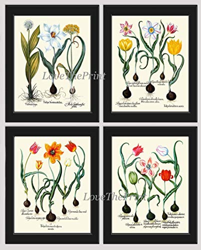 Tulip Print Set of 4 Art Prints Antique Beautiful Botanical Red Green White Yellow Tulips Bulbs Plant Chart Home Room Art Wall Decor ()