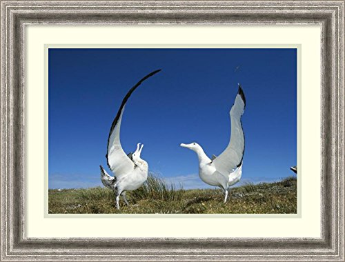 framed-art-print-gibsons-wandering-albatross-courtship-display-adams-island-aucklands-group-new-zeal