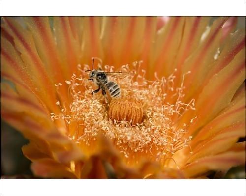 Photographic Print of Native Bee - on fishhook barrel cactus blossum (Ferocactus wislizeni)