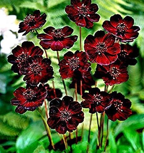 Amazon Com Kouye Gardenseeds Rare Chocolate Cosmos Seeds