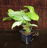 "Nephthytis Syngonium podophyllum 'WHITE BUTTERFLY' Arrowhead Plant in 3"" Pot"