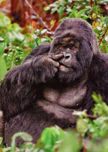 Gorilla Picking Nose Funny Birthday Card - Greeting Card by