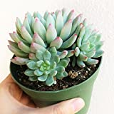 Echeveria Blue Elf hot Pink tip Leaves