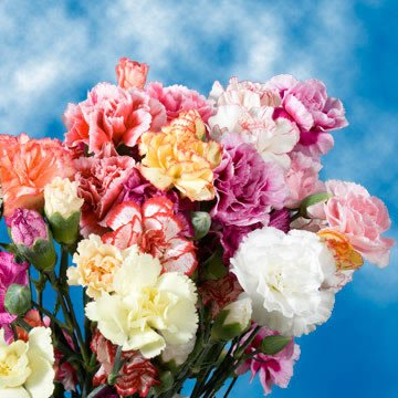 GlobalRose 100 Fresh Cut Novelty Color Carnations - Fresh Flowers For Birthdays, Weddings or Anniversary. by GlobalRose (Image #4)