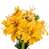 GlobalRose 28 Blooms of Yellow Color Asiatic Lilies- 8 Beautiful Stems - Fresh Flowers for Delivery