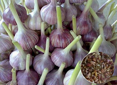 Herb Garlic True Seeds Bulbils Lyubasha Organically Grown Ukrainian Heirloom