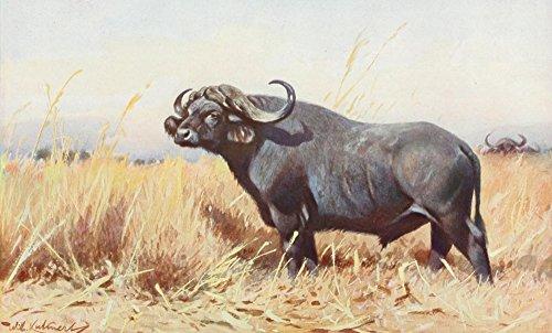 Posterazzi Tierleben 1920 American Buffalo Poster Print by F.W. Kuhnert, (24 x 36)