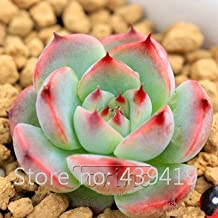 On 500 Rare African Cactus Seeds Mixed Succulent tree Plant Purify Air Bonsai Resistant Heat Easy Care Creative + Gifts 24