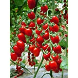 Kaifa Tomato Red Cherry Grape Tomato 50+Seeds -Tiny Small Sweet Red Cherry Tomato Organic Non-gmo Sweet Fresh Fruit Vegetable Garden Seeds For Planting Tasty Great for Salads Juice