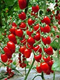 buy Tomato Red Cherry Grape Tomato 50+Seeds -Tiny Small Sweet Red Cherry Tomato Organic Non-gmo Sweet Fresh Fruit Vegetable Garden Seeds For Planting Tasty Great for Salads Juice now, new 2019-2018 bestseller, review and Photo, best price $7.99