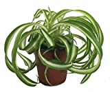 "Shop Succulents | 'Bonnie' Curly Spider Plant, Naturally Air Purifying House Plant in 4"" Pot, Easy Care, Live Indoor House Plant"
