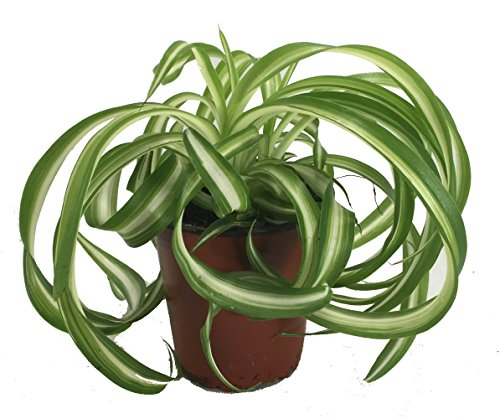 Bonnie Curly Spider Plant - Easy - Cleans The Air - 4' Pot