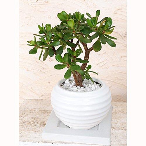 観葉植物:金のなる木6号陶器鉢植え(受け皿付) ノーブランド品 B06XFZJX7R