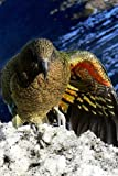 Kea Parrot in New Zealand, Birds of the World: Blank 150 page lined journal for your thoughts, ideas, and inspiration