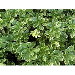 Classy Groundcovers - Pachysandra terminalis 'Silver Edge' {50 Bare Root Plants} 66