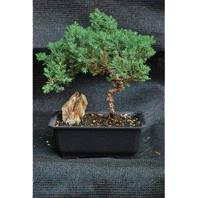 Juniper Tree Bonsai Ceramic Pot Live Plant Garden Home Indoor Yard Best Gift: Garden & Outdoor