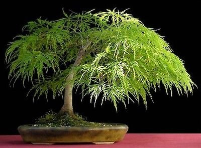 (Lace Leaf Japanese Maple, Acer Palmatum Dissectum, 10 Tree Seeds)