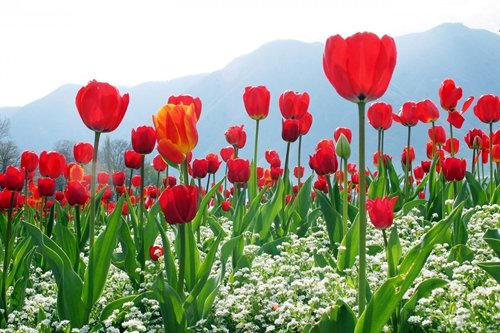Red Tulip Field Of Flowers Art Print on Canvas,Wall Decor Poster 24x36 inches
