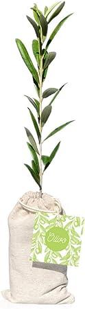 Lote Gourmet Regalo Delecta con árbol olivo natural para plantar, aceite de oliva virgen extra y botella de vino tinto en caja de madera con tapa y asa