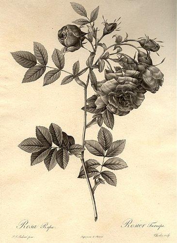 - Rose d'Amour