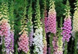 Foxglove Flower Seeds, 5500+ Premium Seeds, ON SALE!, 99.59% Purity, 80% Germination, (Isla's Garden Seeds) - Total Quality!