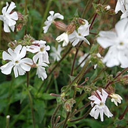 Campion White Herb 1000 Seeds