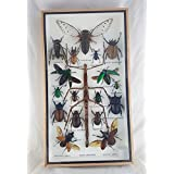 Real Beetles Mix Big Assorted Mounted Bug Twig Insect Taxidermy Entomology Display Collectible