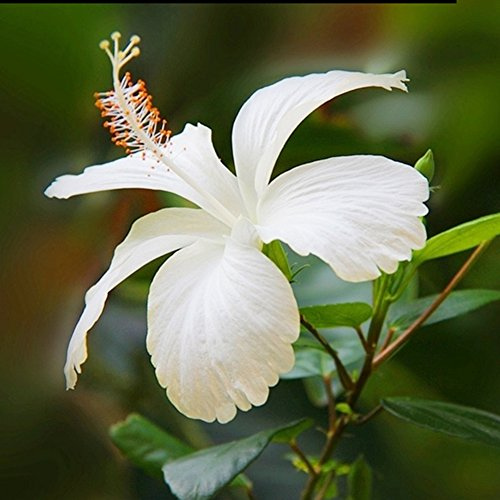 100pcs Japanese Hibiscus Seeds 5 Kinds Hibiscus Rosa Sinensis Flower