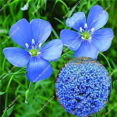 Semilla de lino azul Flor Balcón Jardín Inicio Blooming Plantas de importación semilla de lino cubierta Partido Bonsai decorativo Fácil Grow 120 PC 4: Amazon.es: Jardín