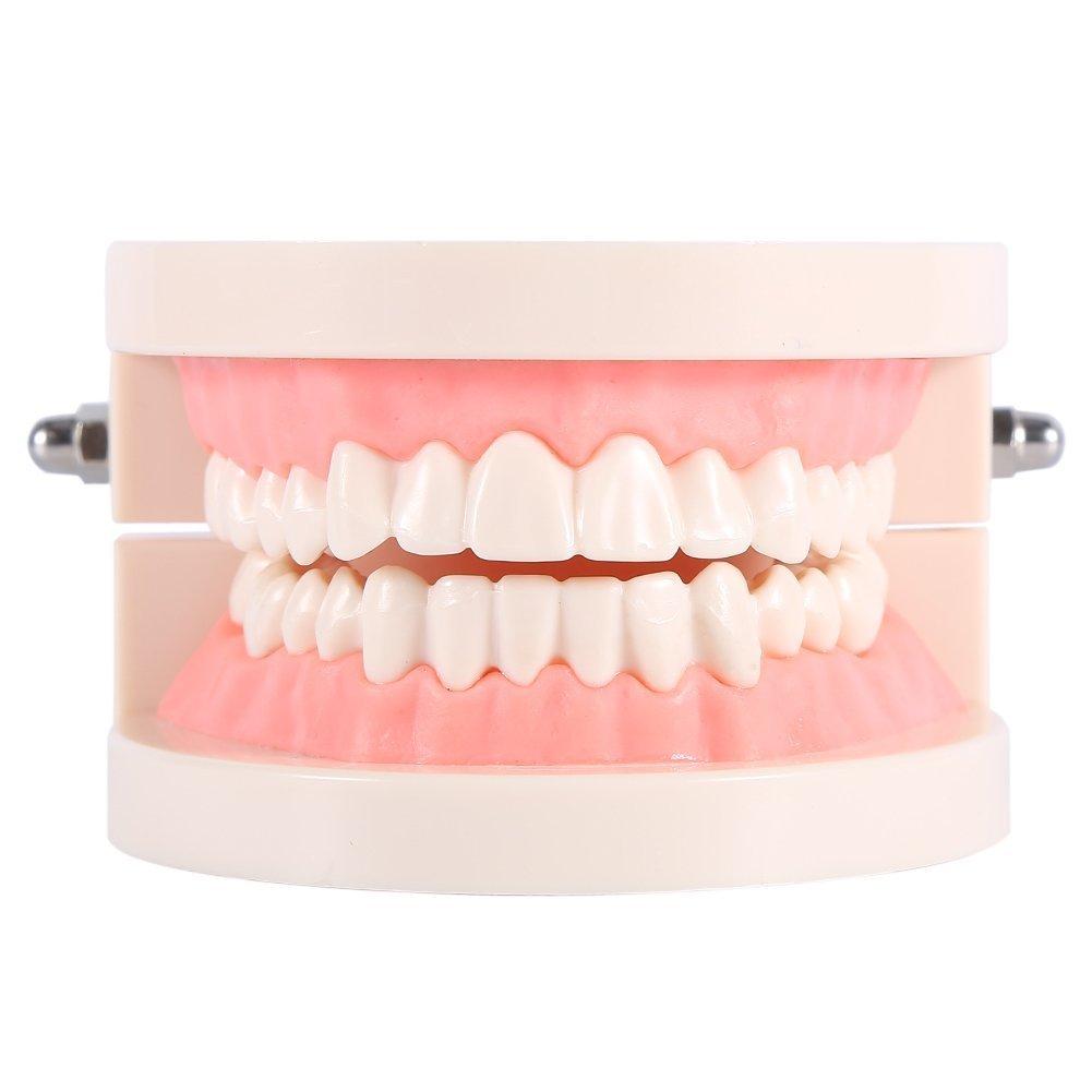 1pcs PVC Dental Care Model Dentist Adult Teeth Standard Teaching Model Yosoo