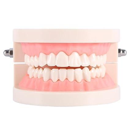 Modelo dental de la enseñanza de los dientes del adulto del dentista del modelo del cuidado