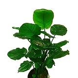 Anubias Barteri Round Leaves Pot Golden Coin Leaf Nana ADA Live Aquarium Plants