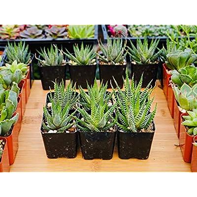 Haworthiia Fasciata - Zebra Succulent Plant - 2 inch Potted Live Succulent Plant : Garden & Outdoor