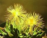Hereroa Incurva Mesemb Rock Ice Plant Succulent Cactus Seed 50 Seeds ecc03
