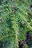 6 Trees Eastern Canadian Hemlock Hardy Established Heavily Rooted 2.5'' Potted V2