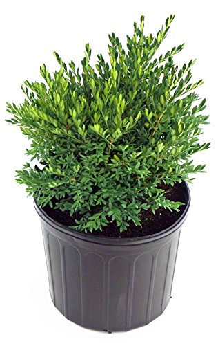 Green Gem Boxwood - Buxus Micro. jap. 'Green Gem' (Boxwood) Evergreen, 2 - Size Container