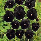Pansy- Black- 50 Seeds