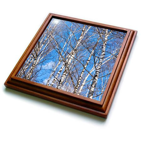 3dRose Alexis Photography - Seasons Spring - Birch trees on a sunny day in early spring. Blue sky - 8x8 Trivet with 6x6 ceramic tile ()