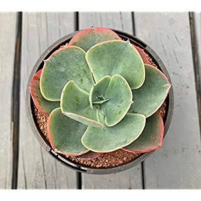 """AchmadAnam - Seeds - 100pcs Succulent""""Echeveria Capri"""" Rare Succulent, Pink Succulent, lithops and Rare Succulent Seeds Flower Living Stone. E13 : Garden & Outdoor"""