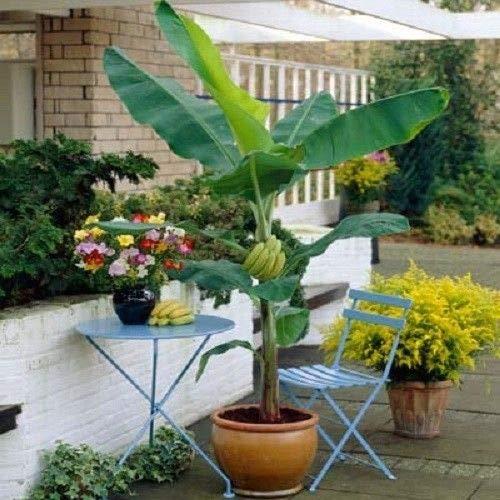 Hardy Banana Ice Cream Plant Tasty Blue Java Garden Patio Yard Sweet Fruit Tree by georgeusshop77 (Image #2)