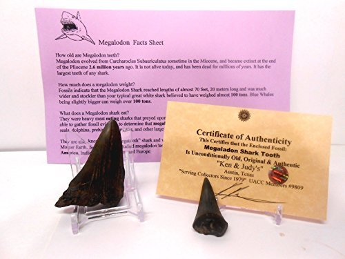 Shark Teeth-Genuine Larger Size Megalodon Fossil Shark Tooth with Display Stand, Fact Sheet, COA & FREE 2nd Shark Tooth Bundle.