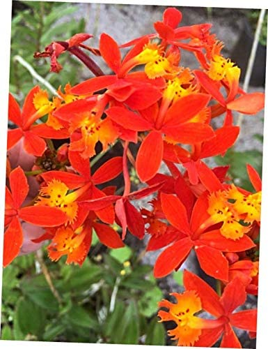 Epidendrum Orchids 5 Rooted Purple 6