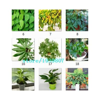 Rare 100pcs 10kinds mix Philodendron seeds, vine leaf, indoor plants Anti Radiation Absorb dust tree seeds : Garden & Outdoor