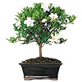 Brussel's Gardenia Bonsai - Medium - (Outdoor) - Not Sold in Arizona