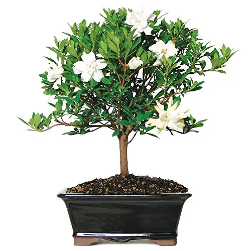 Brussel's Gardenia Bonsai - Medium - (Outdoor) - Not Sold in Arizona by Brussel's Bonsai